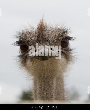 Portrait of an ostrich bird - Stock Photo