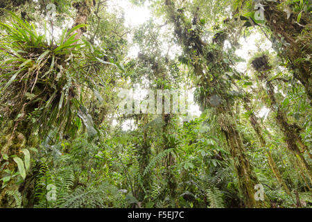 Epiphyte laden trees in humid cloudforest at 2,200m elevation on the Amazonian slopes of the Andes in Ecuador
