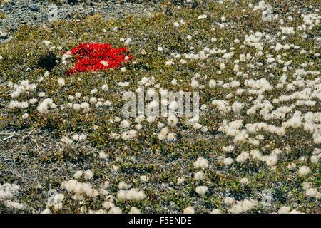 Autumn bearberry colonies on stony glacial till, Jasper National Park, Alberta, Canada - Stock Photo