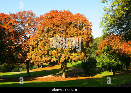 Sycamore Maple Tree, Acer pseudoplatanus. Autumn Stock Photo