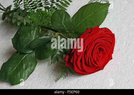 Isolated red rose on a white surface - Stock Photo