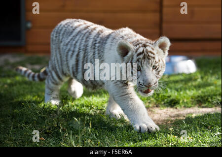Young white Bengal tiger in captivity - Stock Photo