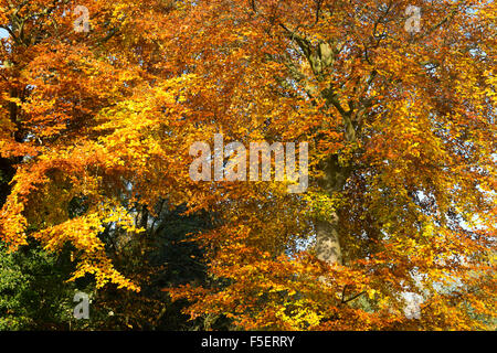 Fagus sylvatica. Beech tree with autumn foilage in the cotswold countryside. Gloucestershire, England. - Stock Photo