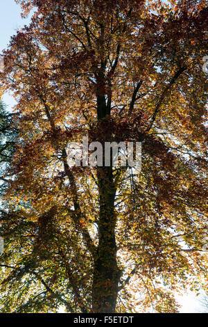 Fagus sylvatica f Purpurea. Copper Beech tree with autumn foliage. UK - Stock Photo