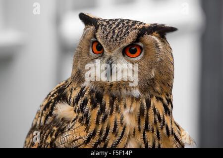 Eagle Owls - Stock Photo