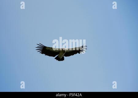 India, Himachal Pradesh, Shimla (Simla), wildlife Himalayan griffon vulture Gyps himalayensis in flight - Stock Photo