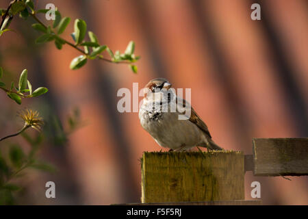 House Sparrow; Passer domesticus Single Male; Cornwall; UK - Stock Photo