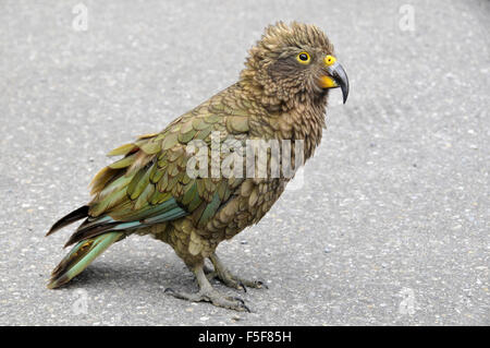 Kea bird, Nestor notabilis, only alpine parrot in the world and endemic of New Zealand, Arthur's Pass, South Island, - Stock Photo