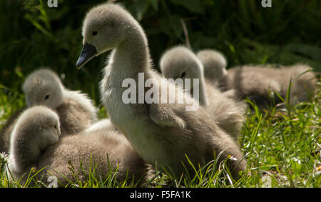 Mute Swan Cygnets on grass - Stock Photo
