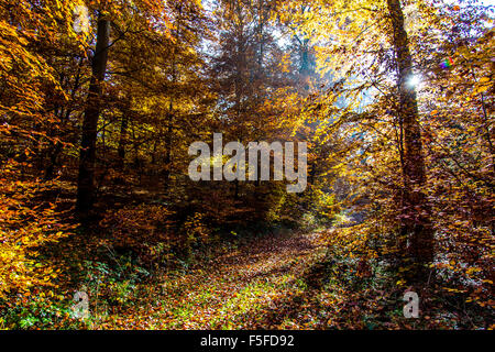 Forest in fall colors, autumn trees, foliage, near Boppard, Rhine valley, Germany - Stock Photo