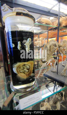 Preserved zoological specimens on display in a glass cabinet in the Alfred Denny Museum, University of Sheffield, - Stock Photo