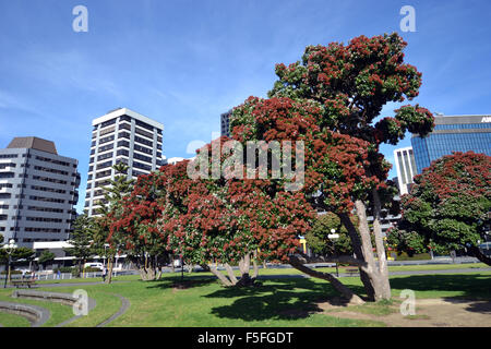 ... New Zealand Christmas Tree Or Pohutukawa, Metrosideros Excelsa, Endemic  To New Zealand, Wellington