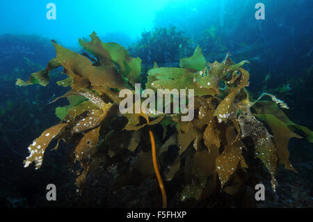 Ulva kelp or sea lettuce, Ulva lactuca, Poor Knights Islands Nature Reserve, Bay of Islands, New Zealand - Stock Photo