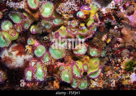 Anthozoans Jewel anemones, Corynactis viridis, Poor Knights Islands Nature Reserve, Bay of Islands, New Zealand - Stock Photo