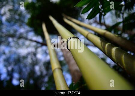 Artistic shot of several bamboo stalks in Oahu Hawaii. - Stock Photo