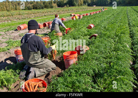 Field workers, you man & woman  harvesting carrot field. - Stock Photo