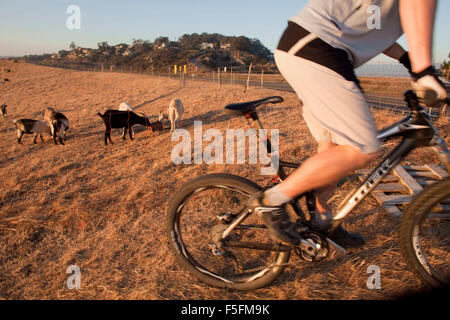 Laguna Beach, California, USA. 06th May, 2012. A herd of about 400 goats chew back brush to create a firebreak in - Stock Photo