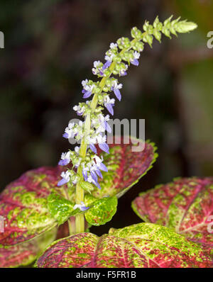 Stem of small blue flowers of coleus, Solenostemon, surrounded by variegated red, green & yellow leaves against - Stock Photo
