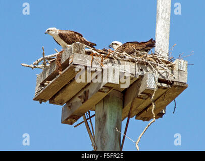 Pair of brahminy kites, red-backed sea eagles, on nest of timber & sticks on top of power pole against blue sky - Stock Photo