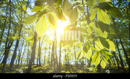 Bright rays of morning light coming through the fresh new leaves of a beech tree. - Stock Photo
