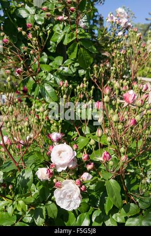 Rose Blush Noisette starting to flower in June - Stock Photo