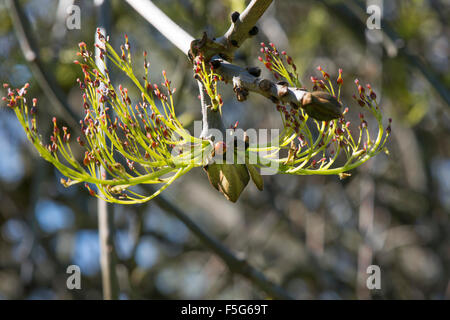 Ash Tree Buds and Flowers with ladybird - Stock Photo