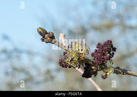 Ash Tree Buds and Flowers - Stock Photo