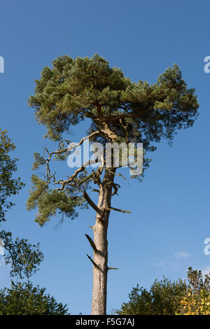 Top growth on a Scot's pine tree, Pinus sylvestris, with sparse foliage and a tall bare trunk, Berkshire, October - Stock Photo