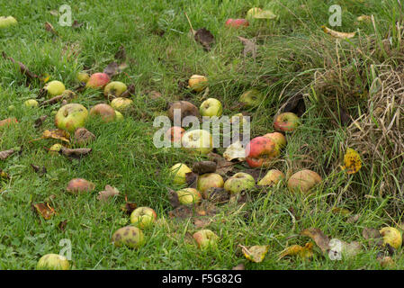 Windfalls, apples fallen from the tree lying in the grass in a wet warm autumn, Berkshire, November - Stock Photo