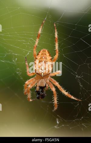 Female Orb Weaver spider aka Cross spider (Araneus Diadematus ), in it's web with prey. - Stock Photo