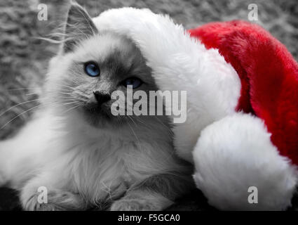 Christmas Ragdoll Cat - Stock Photo