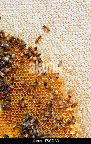 Sweden, Bees on honeycomb - Stock Photo