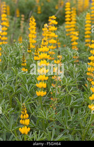 Annual yellow-lupin, European yellow lupine, Yellow Lupin, Gelbe Lupine, Lupinus lutea, Lupinus luteus, Lupin jaune - Stock Photo