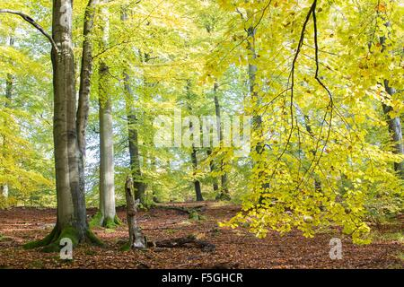 Autumn in beech (Fagus sp.) forest, Hesse, Germany - Stock Photo