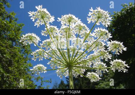 Giant Hogweed (Heracleum mantegazzianum), Gabriola, British Columbia, Canada. Hogweed is a poisonous plant - Stock Photo