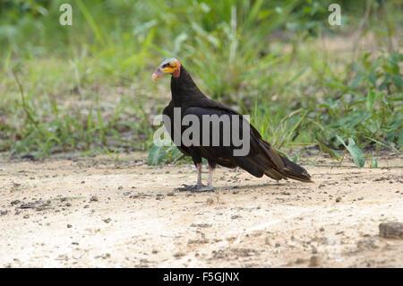 Lesser Yellow-headed Vulture (Cathartes burrovianus) , Araras Ecolodge,  Mato Grosso, Brazil - Stock Photo