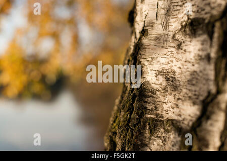 Closeup of a birch trunk in autumn in the evening light - Stock Photo
