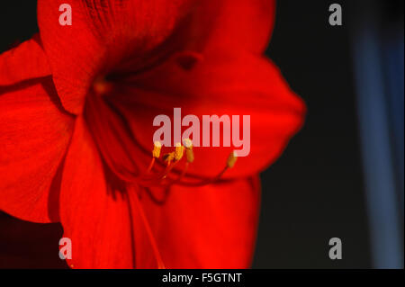 Red amaryllis flower in bloom - Stock Photo