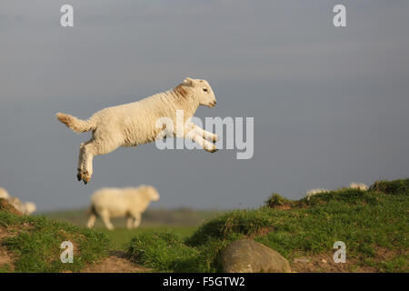 Action colour profile shot of a group of Welsh Mountain lambs leaping on a grassy bank near Boduan, Pen Llyn, Gwynedd, - Stock Photo