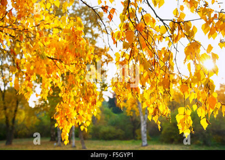 Sunbeam shining through the colorful birch tree leaves at sunset - Stock Photo