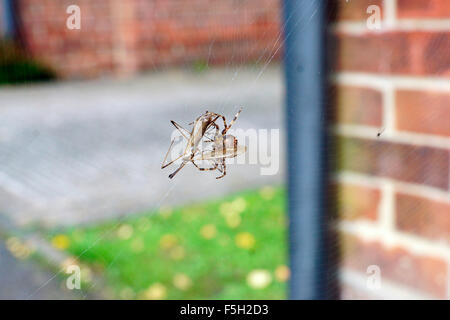 ORB SPIDER WRAPPING A CRANE FLY - Stock Photo
