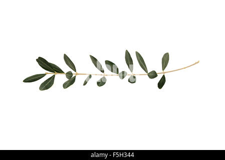 Olive tree twig with leaves isolated on white background. A single branch of peace symbol - Stock Photo