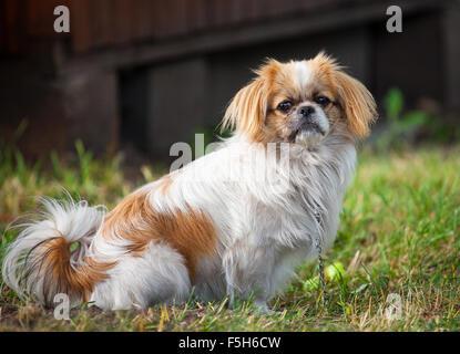 Pekingese dog - Stock Photo