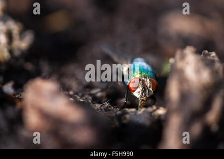macro of a fly on the ground with bright red eyes and a turquoise body - Stock Photo