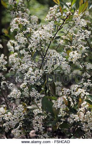 aronia melanocarpa 39 hugin 39 stock photo royalty free image. Black Bedroom Furniture Sets. Home Design Ideas