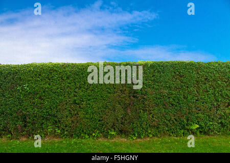 Green hedge and blue sky - Stock Photo