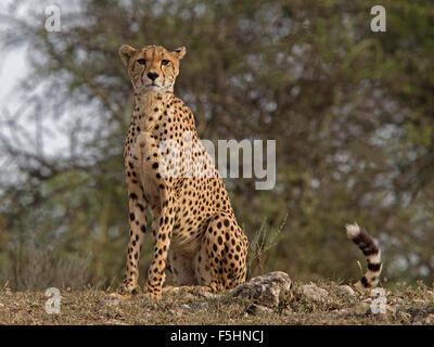 Female cheetah sitting, watching - Stock Photo