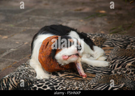 Cavalier King Charles Spaniel, tricolour, 10 months, eating raw duck neck, Texel, Netherlands / barf, snoot|Cavalier - Stock Photo