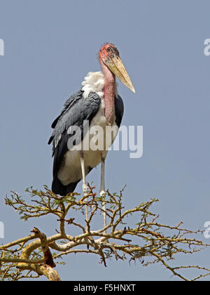 Marabou stork perched on tree top - Stock Photo