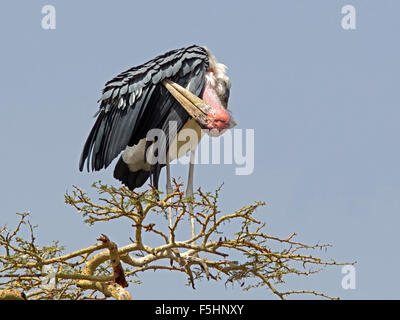 Marabou stork, preening, perched on tree top - Stock Photo